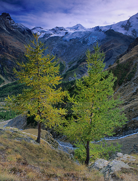 Larch trees and Fee glacier, Saas Fee, Swiss Alps, Switzerland, Europe