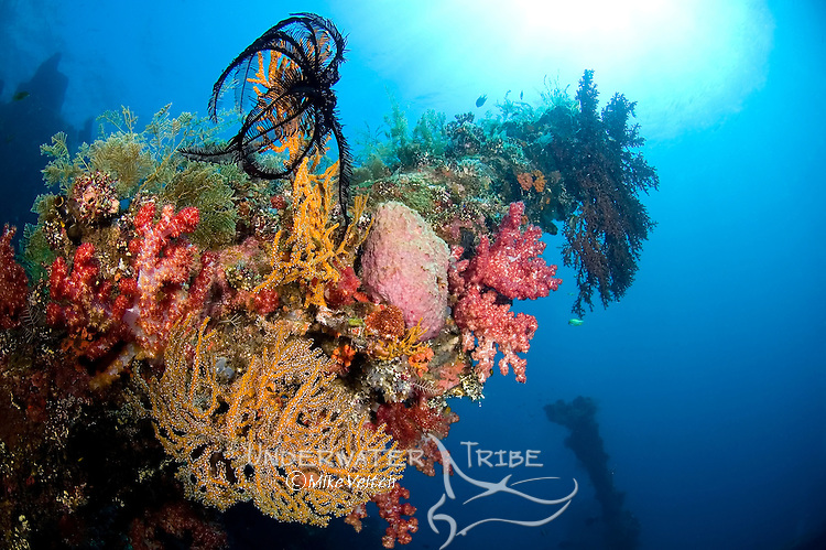 Coral growth on the USS Liberty wreck, Dendronephthya sp., and gorgia sp., Tulamben, Bali, Indonesia, Pacific Ocean