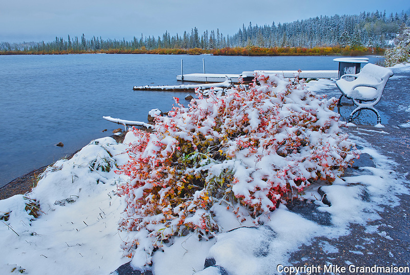Early snowfall covering autumn colored foliage at edge of Vermillion Lakes<br />