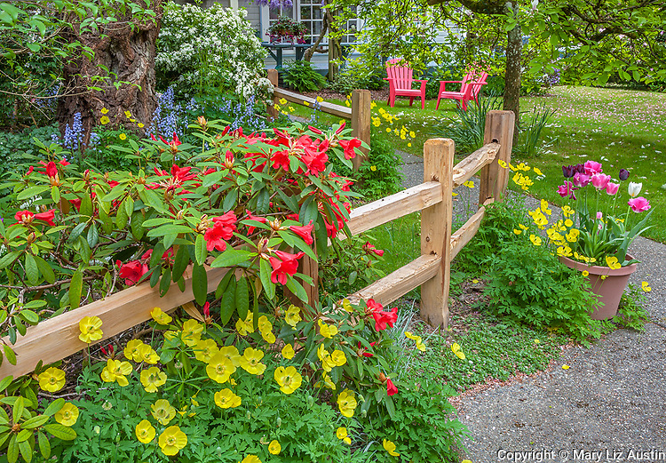 Vashon Island, WA: Red blossoming rhododendron accented with yellow poppies and a pot of tulips next to a split rail fence in a spring garden with a pair of red adirondack chairs in the background.