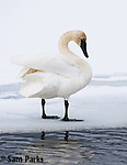 Trumpeter swan in winter. National Elk Refuge, Wyoming.