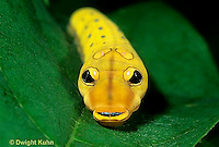 LE02-003b Spicebush Caterpillar face and eye spots Pterourus troilus.