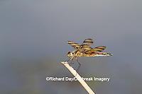 06579-00617 Halloween Pennant (Celithemis eponina) female near wetland Marion Co. IL