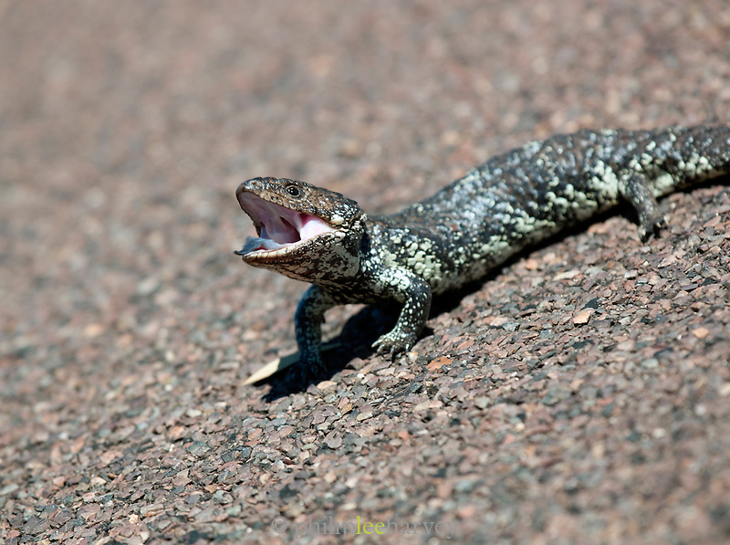 Shingleback Lizard, Eyre Peninsula, South Australia, Australia