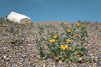 YELLOW HORNED-POPPY Glaucium flavum (Papaveraceae) Height to 50cm. Blue-grey, clump-forming perennial of shingle beaches. FLOWERS are 6-9cm across with overlapping yellow petals (Jun-Sep). FRUITS are elongated, curved capsules up to 30cm long. LEAVES are pinnately divided, the clasping upper ones having shallow, toothed lobes. STATUS-Locally common on most suitable coasts although absent from far N.