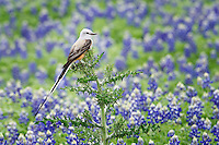 Scissor-tailed Flycatcher in the Texas Bluebonnets.