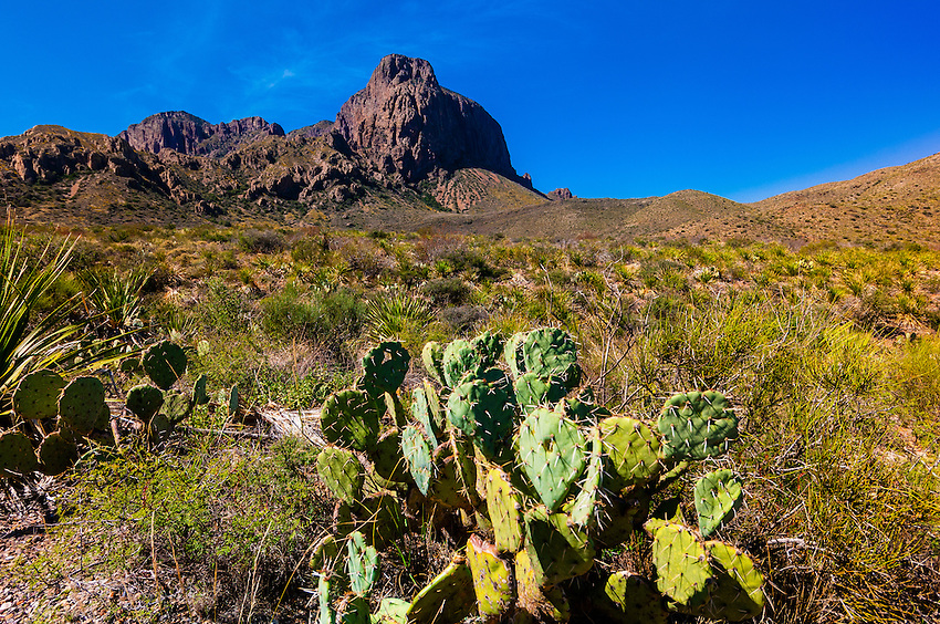 Prickly Pear Cactus, Chihuahuan Desert,  Big Bend National Park, Texas USA.