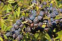 Blackthorn fruit 'sloes' {Prunus spinosa} in a hedgerow. Peak District National Park, Derbyshire, UK. September.