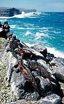 Marine Iguana, Basking on rocks by coastline, Galapagos, Ecuador.Galapagos....