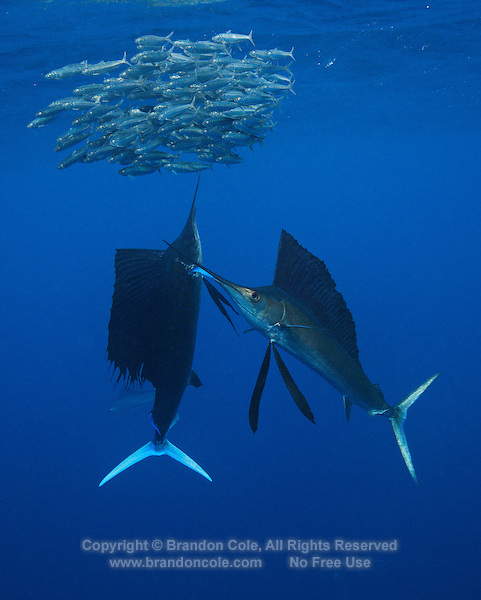 qh0425-D. Atlantic Sailfish (Istiophorus albicans) feeding on sardines. Some consider this the same species as the Indo-Pacific Sailfish (I. platypterus). Mexico, Gulf of Mexico..Photo Copyright © Brandon Cole. All rights reserved worldwide.  www.brandoncole.com..This photo is NOT free. It is NOT in the public domain. This photo is a Copyrighted Work, registered with the US Copyright Office. .Rights to reproduction of photograph granted only upon payment in full of agreed upon licensing fee. Any use of this photo prior to such payment is an infringement of copyright and punishable by fines up to  $150,000 USD...Brandon Cole.MARINE PHOTOGRAPHY.http://www.brandoncole.com.email: brandoncole@msn.com.4917 N. Boeing Rd..Spokane Valley, WA  99206  USA.tel: 509-535-3489