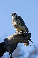 Lannerfalke, Lanner-Falke, Lanner - Falke, auf dem Arm eines Falkners, Falknerei, Jagd, Falco biarmicus, Lanner Falcon, Faucon lanier, falconer, hawking, falconry