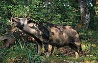 Europe/France/Corse/2A/Corse-du-Sud/Bastelica: L'élevage de porcs corses en estive des frères Benielli dans leur charcuterie familiale
