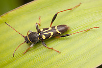 Longhorned Beetle (Clytus ruricola), Ward Pound Ridge Reservation, Cross River, Westchester County, New York