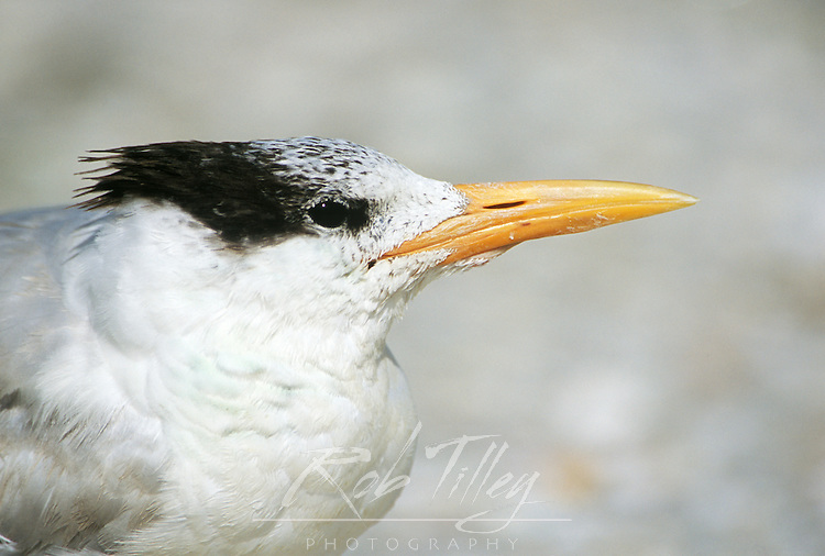 Royal Tern (Sterna maxima), Sanibel, Florida, USA