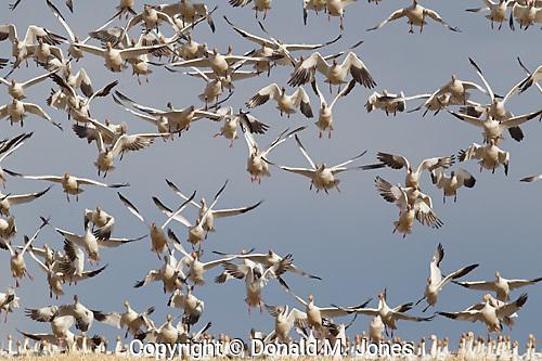 Snow Goose (Chen hyperborea)