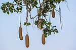 Sausage tree fruit (Kigelia africana), Katavi National Park, Tanzania<br /> The massive fruit of the kigeli-keia&mdash;the tree&rsquo;s Bantu name&mdash;weighs up to twenty-two pounds and is suspended on long ropy stems. It is a favorite of many animals; baboons, elephants, giraffes, and others eat the fruit, while parrots eat the seeds.