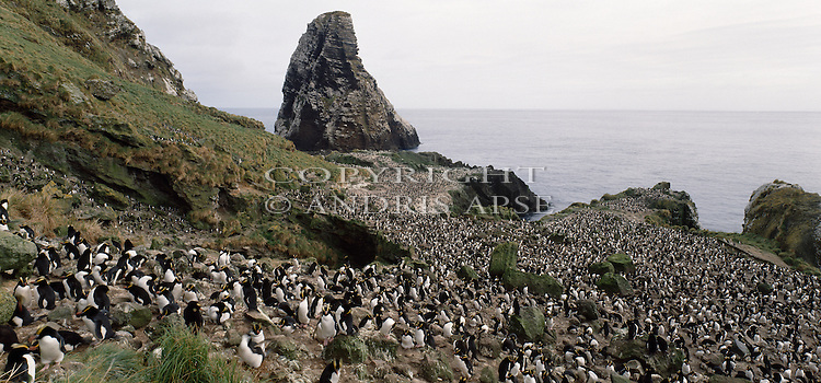 Erect Crested Penguin Colony at the Antipodes Islands. New Zealand Sub-Antarctic Islands.