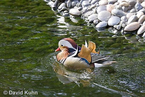 0310-1010  Drake (Male) Mandarin Duck, Aix galericulata  © David Kuhn/Dwight Kuhn Photography.