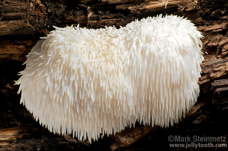 The Pom Pom Mushroom (Hericium erinaceus), also known as Lion's Mane, Icycle Mushroom, Bearded Tooth Fungus, Old Man's Beard, Satyr's Beard and Bear's Head Tooth. Regardless of preferred common name, this mushroom is considered a choice wild edible by most. Delaware County, Ohio. USA