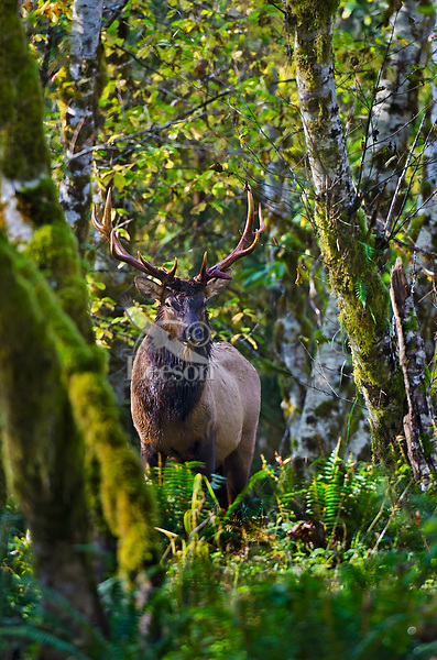 Roosevelt Elk Bull (Cervus canadensis roosevelti) standing in red alder tree bottom (alder trees are common in the riparian zone along West Coast rivers and streams), Pacific Northwest.  Even though it still looks very green and summer like this photo was taken in late October.