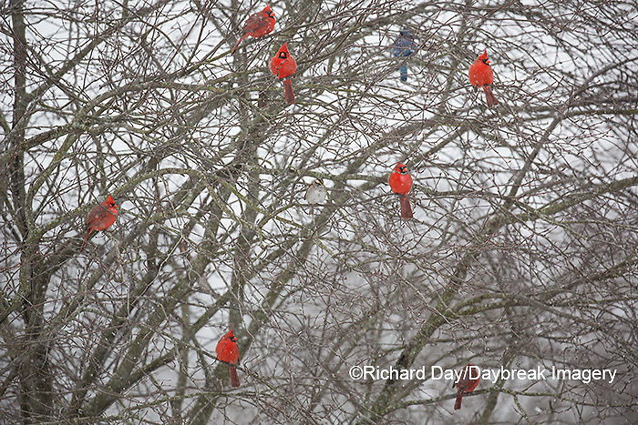 01530-22517 Northern Cardinal (Cardinalis cardinalis) males and female in bush in winter Marion Co., IL