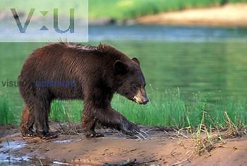 Black Bear ,Ursus americanus, Minnesota, USA