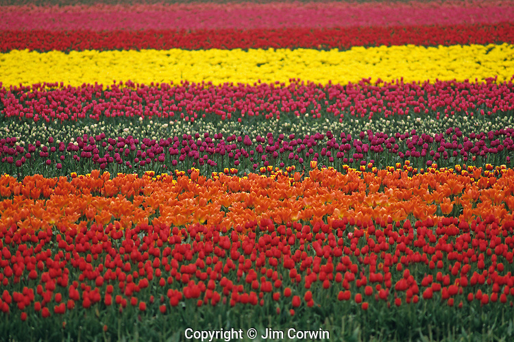 Multi-colored tulip fields Skagit County near Mount Vernon Washington State USA.