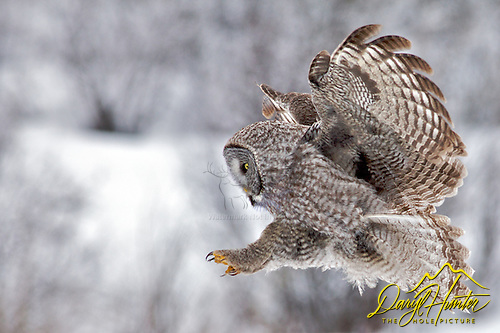 Great Grey Owl coming in for a landing