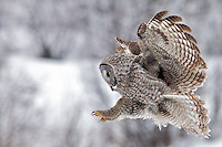 Great Grey Owl, in flight, winter, landing, Jackson Hole, Wyoming
