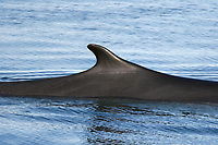 Adult fin whale (Balaenoptera physalus) surfacing (dorsal fin detail) in the calm waters off Isla San Esteban in the midriff region of the Gulf of California (Sea of Cortez), Baja California, Mexico, Pacific Ocean There are an estimated 400 resident fin whales residing in the Gulf of California.