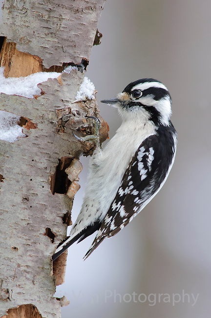 Adult female Downy Woodpecker (Picoides pubescens) foraging on a decaying tree. Tompkins County, New York. February.