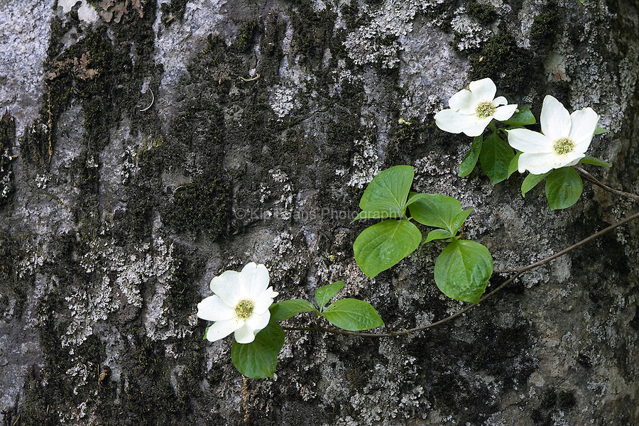 A dogwood tree in bloom along the Merced River in Yosemite National Park, California.