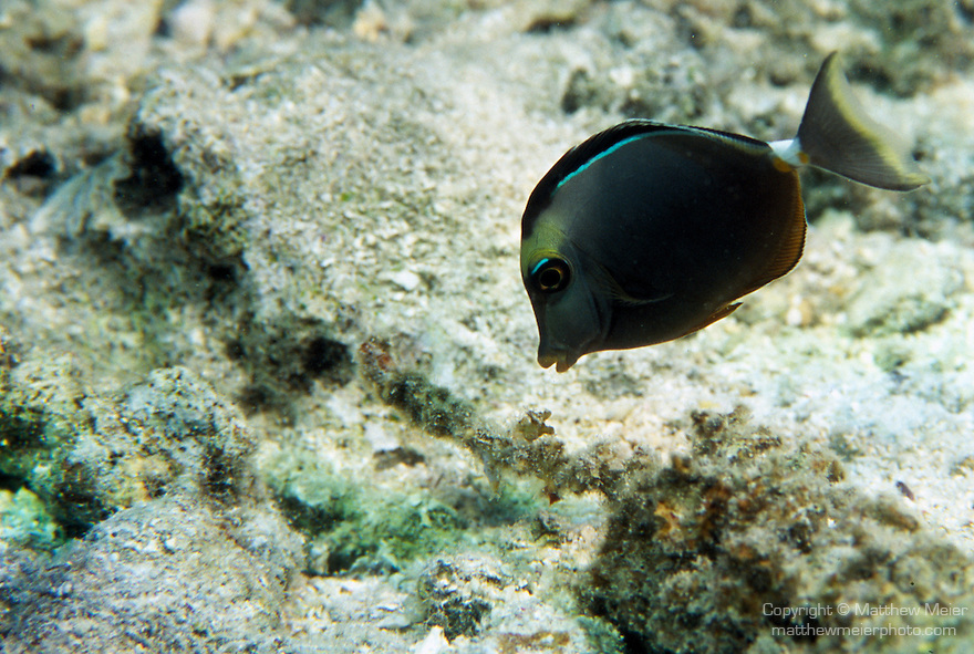 Moorea, French Polynesia; Orangespine Unicornfish (Naso lituratus), to 30 cm (12 in.), solitary or form small groups, lagoon and outer reefs to 70 meters, Indo-Pacific, Red Sea and E. Africa to Hawaii, Pitcairn Island, S.W. Japan to S. Great Barrier Reef and New Caledonia , Copyright © Matthew Meier, matthewmeierphoto.com All Rights Reserved