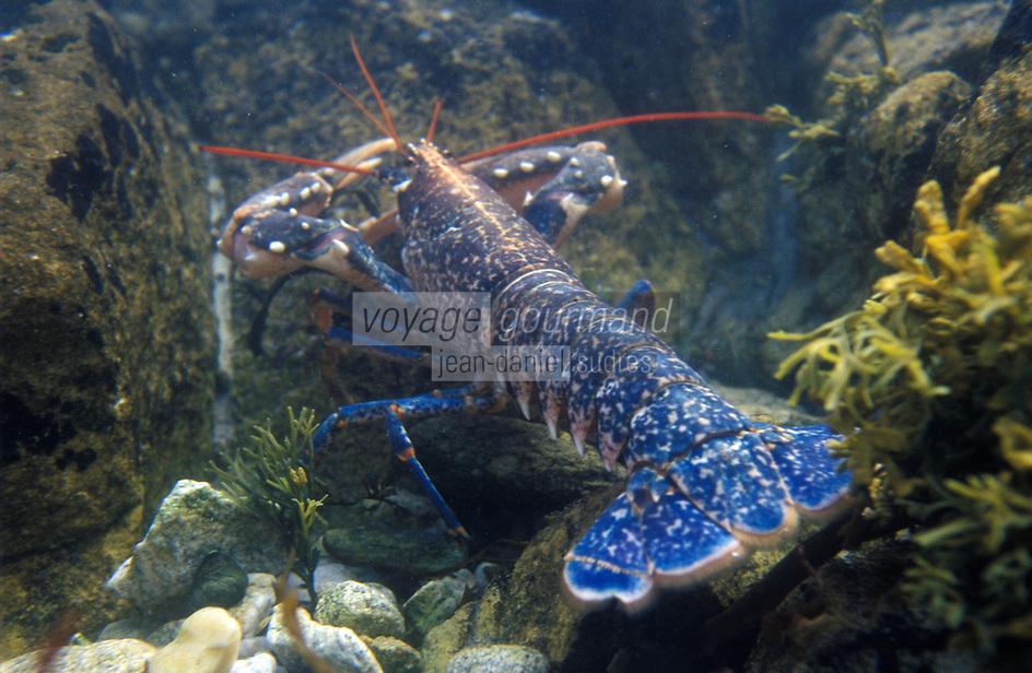 Europe/France/Bretagne/29/Finistère/Roscoff: Homard bleu de Bretagne dans son milieu naturel