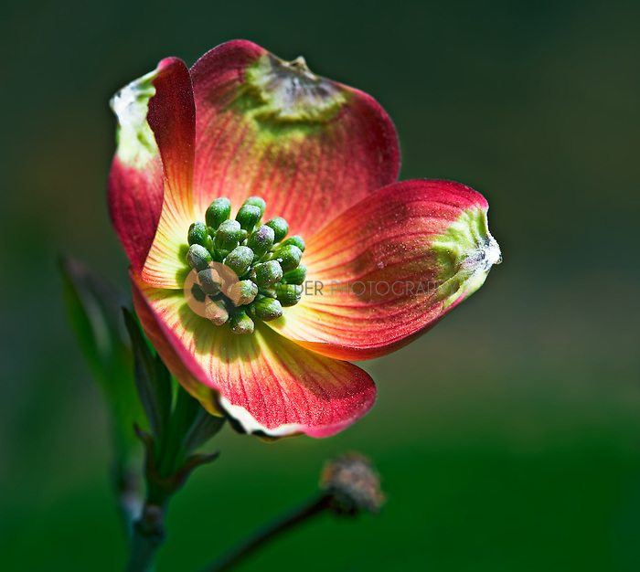 Close up of a single pink dogwood blossom with the stamen  the focal point of the image