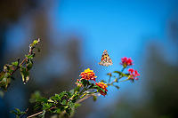 Hundreds of colorful painted lady butterflies (Vanessa cardui) flitter across the Occidental College campus on March 13, 2019. Recent storms were said to be the reason for the butterfly bonanza.<br /> (Photo by Marc Campos, Occidental College Photographer)