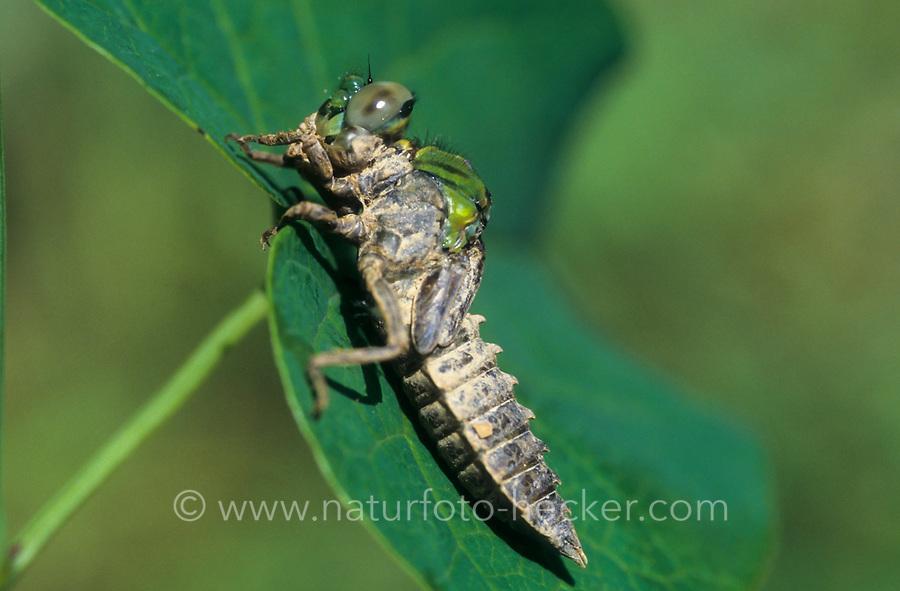 Grüne Flussjungfer, Grüne Flußjungfer, Grüne Keiljungfer, Larve ist zum Schlupf an Land gekrochen, Metamorphose, Ophiogomphus cecilia, Ophiogomphus serpentinus, Green Snaketail, green gomphid, green club-tailed dragonfly, larva, larvae, l'Ophiogomphe serpentin, Gomphe serpentin, Gomphidae, Flussjungfern, Flußjungfern