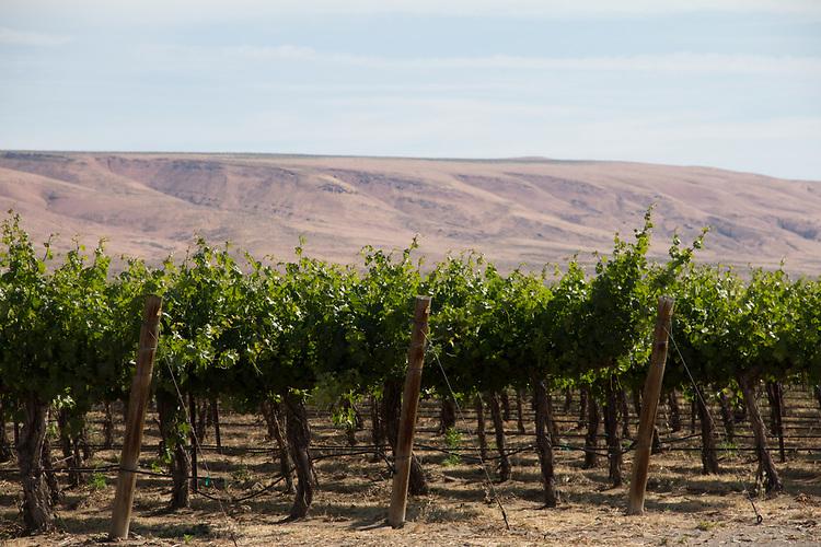 Vineyards, Wahluke Slope, new vineyards, spring growth, wine country, Eastern Washington, Washington State, Pacific Northwest, USA,<br /> Mattawa, Washington State, Pacific Northwest, USA, farms, agriculture,
