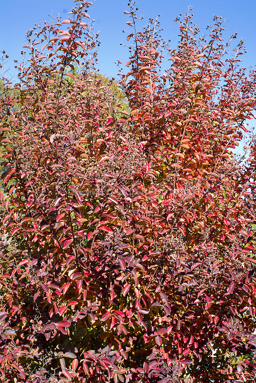 Lagerstroemia indica 'Whit IV' aka Red Rocket compact crape myrtle in autumn color