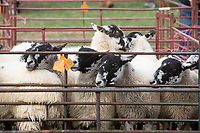 Breeding Ewes at Corby Glen Sheep Fair<br /> &copy;Tim Scrivener Photographer 07850 303986<br />      ....Covering Agriculture In The UK....