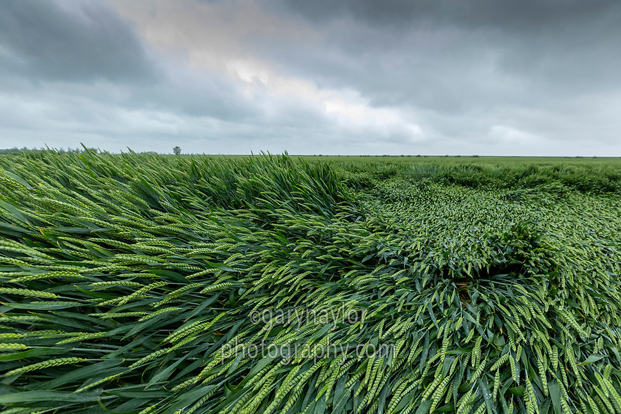Wheat lodges folling heavy rain & wind - Lincolnshire, June
