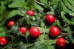 Wintergreen, Checkerberry, Partridge Berry, Gaultheria procumbens, heath family