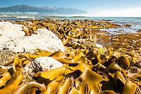 Bull kelp seaweed on rocky shores in Kaikoura with Seaward Kaikouras mountains in background, Marlborough Region, South Island, East Coast, New Zealand