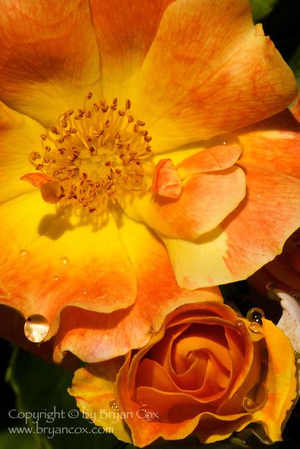 Raindrops on orange roses