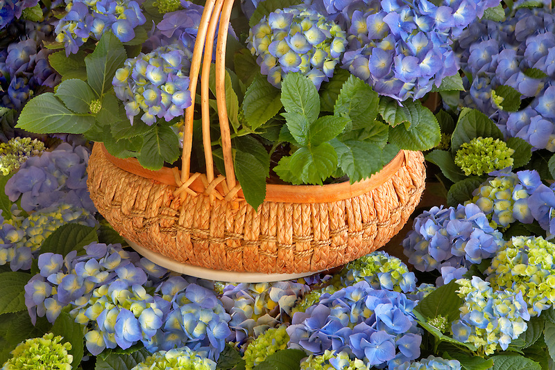 Hydrangia in handmade basket.