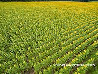 63801-11402 Sunflower field-aerial Jasper Co.  IL