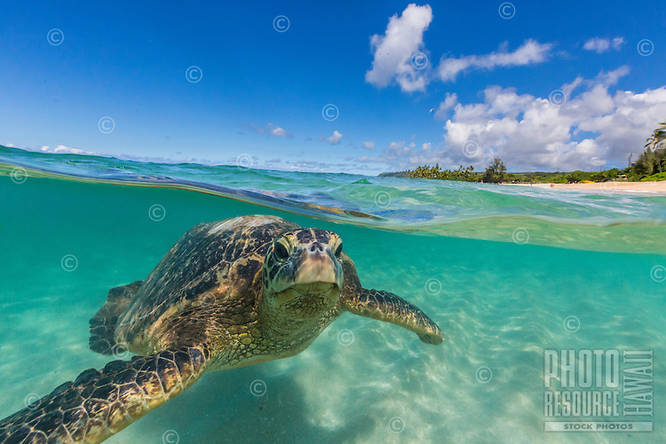 A green sea turtle (or honu) swims just below the surface of sun-dappled water along the North Shore of O'ahu.