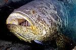 Epinephelus itajara, Goliath grouper, Florida Keys