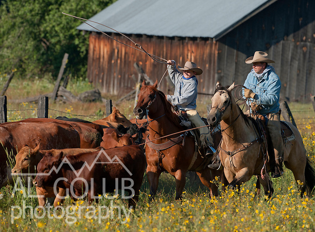 Cowboy Photography Workshop   Erickson Cattle Co. ..Wyatt Hansen works with father Tim Hansen to rope calf... Photo by Al Golub/Golub Photography