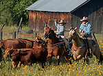 Cowboy Photography Workshop   Erickson Cattle Co. ..Wyatt Hansen works with father Tim Hansen to rope calf... Photo by Al Golub/Golub Photography